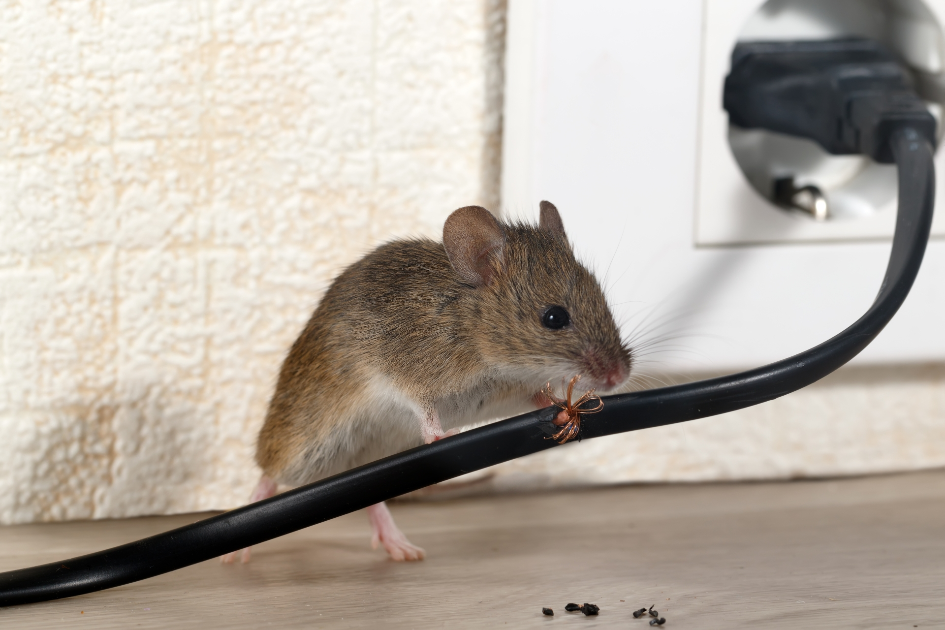 Mice Infestation, Pest Control in Lambeth, SE11. Call Now 020 8166 9746