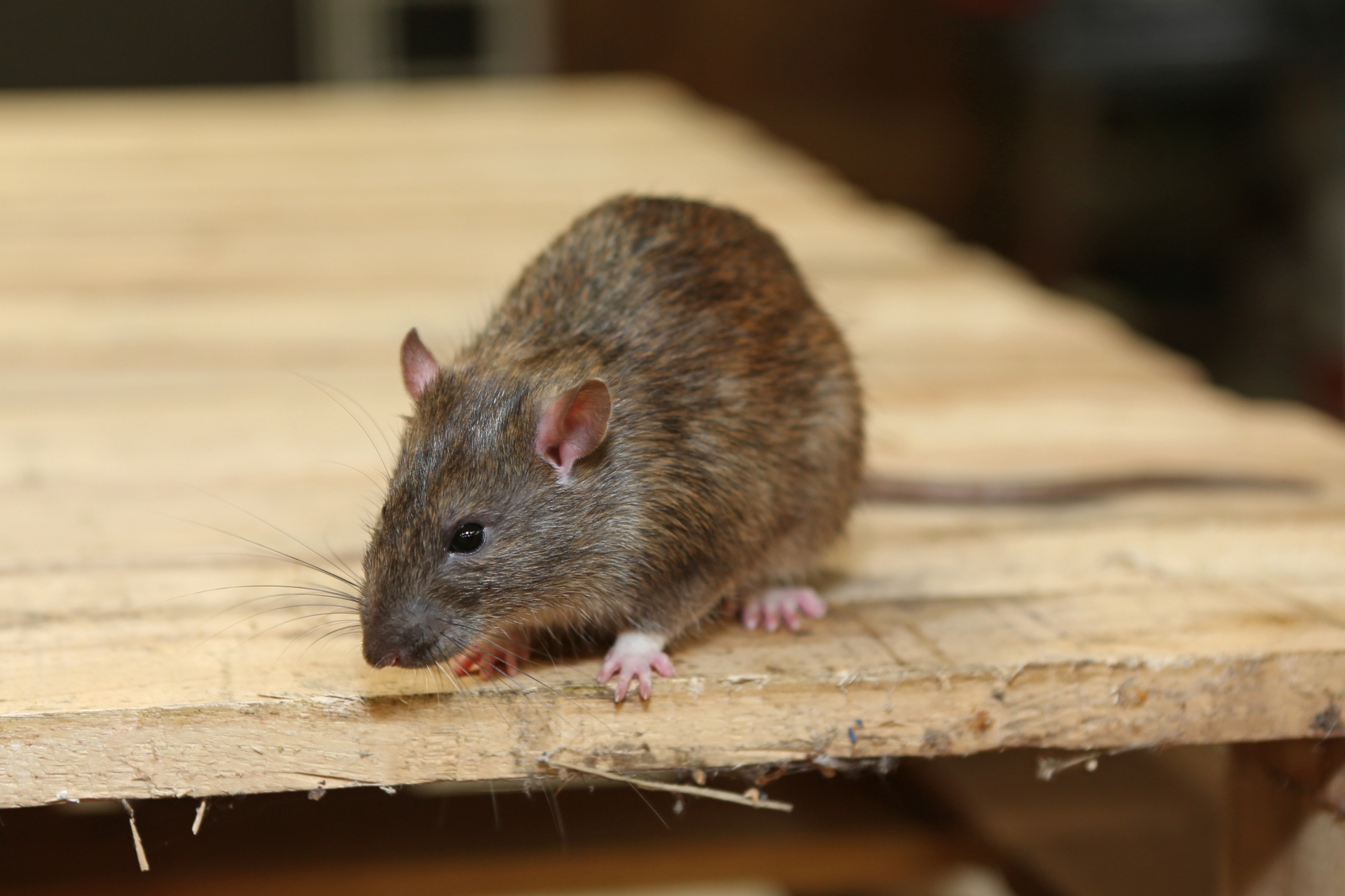 Rat Infestation, Pest Control in Lambeth, SE11. Call Now 020 8166 9746